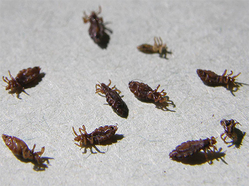 Adult lice and larvae can indeed be very effectively destroyed with the help of cemeric water.