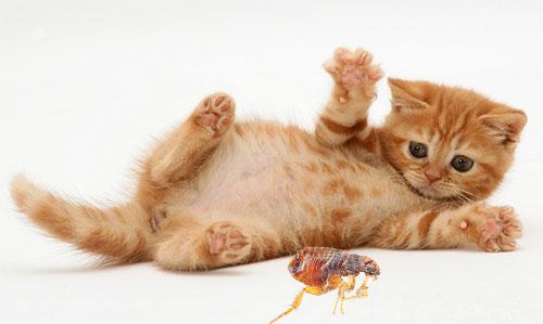 Yavru kedi pire dan hızlı ve güvenli bir şekilde kurtarmaya yardımcı olacak yöntemleri ve araçları düşünün.