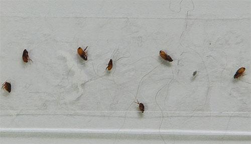 Piretroidler ve organofosfat insektisitleri içeren preparatlar pire karşı etkilidir, ancak yavrular 6 aya ulaşana kadar genellikle kullanılamazlar.