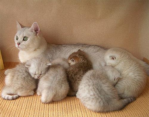 Anne karnından sütten kesilmeden önce bir yavru kedi pire tedavisi tavsiye edilmez.