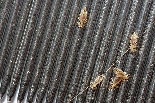 이가 빗질하기위한 빗 - 집에서 기생충을 제거하는 가장 효과적이고 안전한 수단 중 하나
