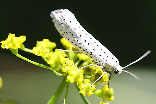 فراشة من فراشة ايرمين الطيور الكرز على زهرة
