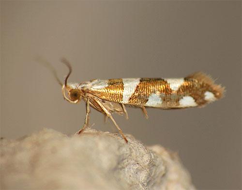 الصورة هي فراشة فراشة واضحة Argyresthia brockeella