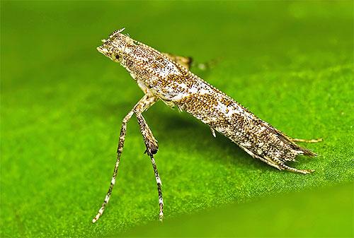 العث عقيدات hemidactylella Caloptilia أضعاف جناحيها في أنبوب ضيق