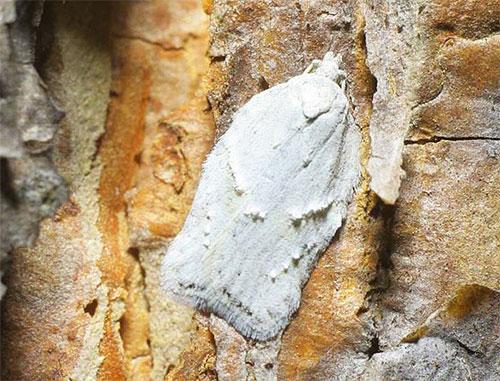 تقترب عثة الثلج (Acleris logiana) تقريبًا من اللون مع لحاء البتولا