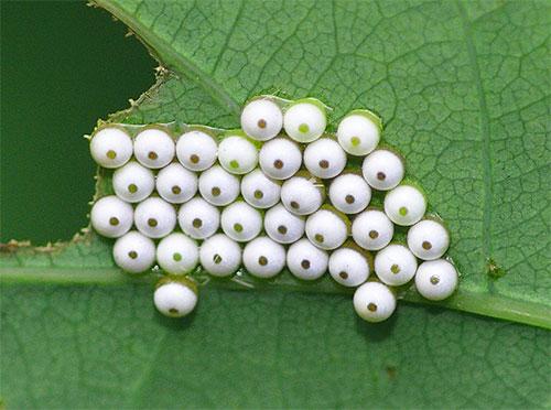 عادة ، فراشات الفراشات تضع البيض مباشرة حيث تستمر اليرقات.