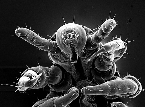 Louse under the microscope