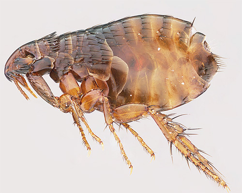 Symptoms of the appearance of lice are significantly different from flea bites.