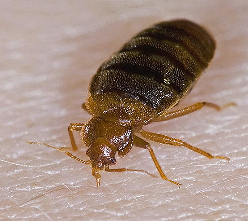 Bed bugs, unlike lice, bite mostly open areas of the body (without hair)