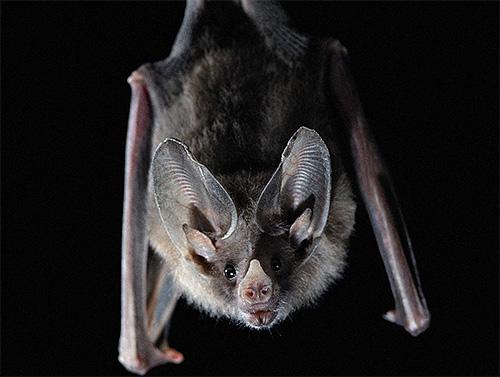 البق يمكن أن يعض الخفافيش ، لأن هناك العديد من مناطق الجسم التي لا يوجد بها شعر.