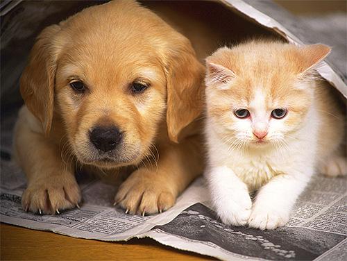 يمكن أن تبدأ البق عض الحيوانات الأليفة في شقة إذا تركها الناس لفترة طويلة.