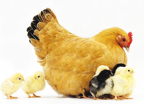 البق قادر على اختراق جلد الدواجن وخاصة تطفل الدجاج