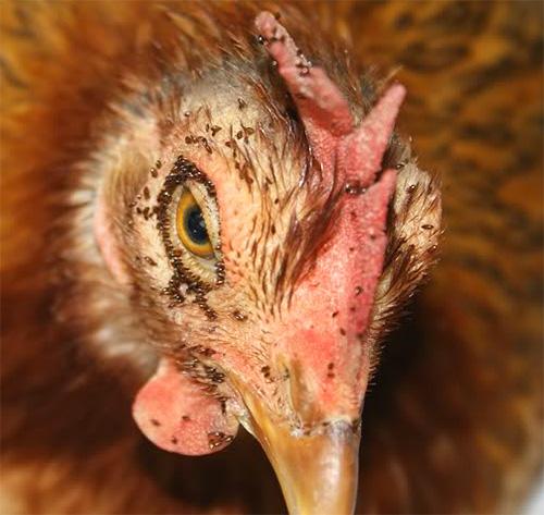 البراغيث الدجاج ، والطيور القارضة ، وبعضها يمكن أن يكون مخطئا لالبق