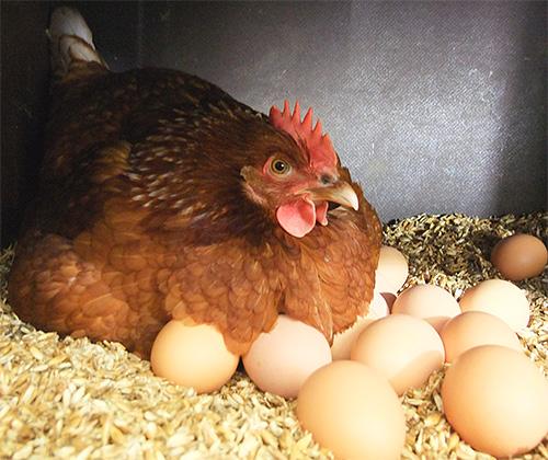 بسبب وجود الدجاج الطفيلي يمكن أن تترك الدجاج حتى مخلبها.
