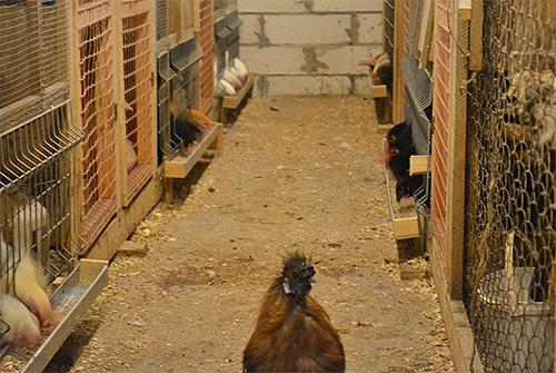 للتخلص من البق ، يتم إزالة الدجاج من حظيرة الدجاج ومعالجته بالمبيدات الحشرية.