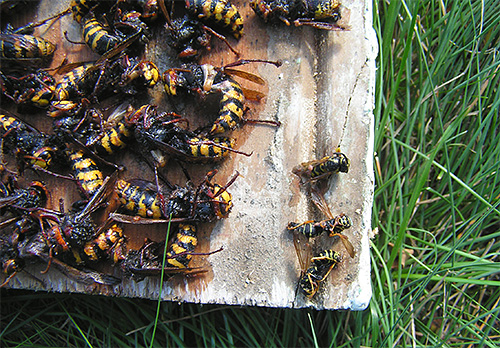 We fight hornets and wasps on the plot with traps ...