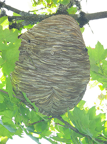 To protect the apiary from the hornets, it is useful to start to find a nest of insects