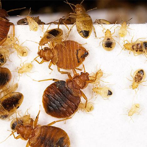 الغبار في شكل غبار أو طباشير الحشرات في معظم الحالات لن يكون لها تأثير واضح على البق.