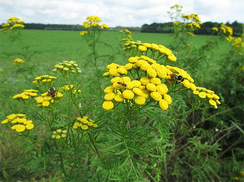 Tansy يعتبر نباتًا طبيًا فعال ضد الحشرات.