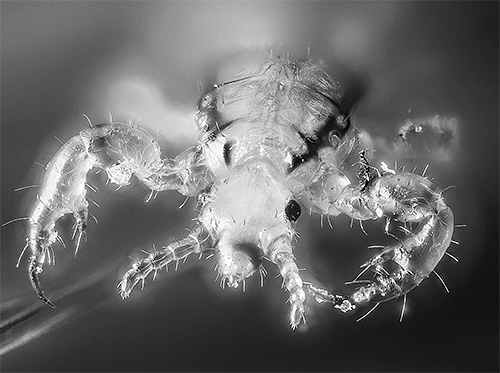 It looks like a head louse under an optical microscope