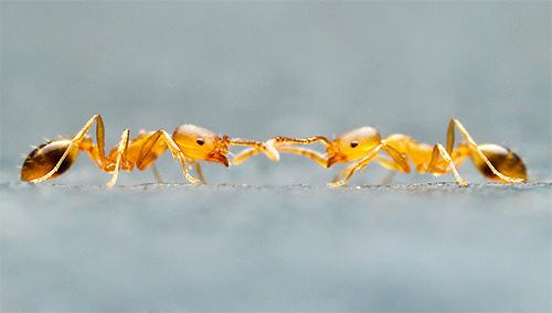 ولكن ضد النمل قد تكون قنابل الدخان غير فعالة إذا كان النمل خارج الشقة.