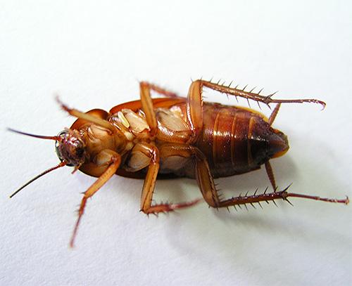 يمكن للدخان المحتوي على المبيدات الحشرية أن يقتل الصراصير والبق في الشقق العادية.
