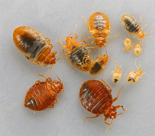 في وجود عدد كبير من البق في المنزل يجب استخدام مركزات مبيدات الحشرات.