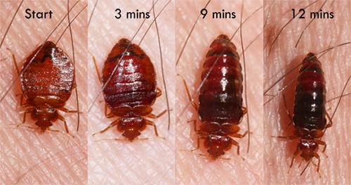 침대 벌레의 크기는 얼마나 많은 피를 마 셨는지에 달려 있습니다.