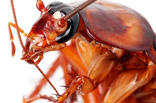 على الرغم من أن الصراصير لا تنتمي إلى الحشرات الماصة للدم ، إلا أنها في بعض الأحيان يمكن أن تقضم أجزاء من الظهارة في الأشخاص النائمين.