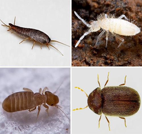 어느 날 우리 아파트에서 어떤 종류의 작은 벌레를 만날 수 있는지 알아 봅시다. 우리가 그들을 두려워해야하고 무엇을 기대해야하는지 ...