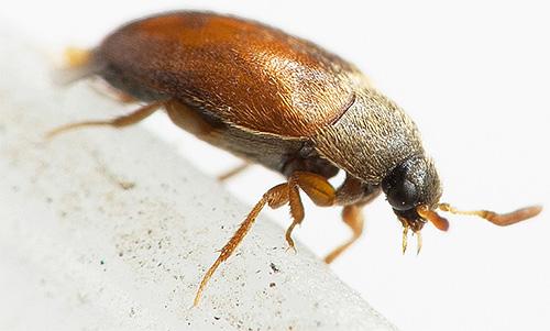 가죽 딱정벌레는 작은 크기 임에도 불구하고 집안에있는 물건에 심각한 손상을 줄 수 있습니다.