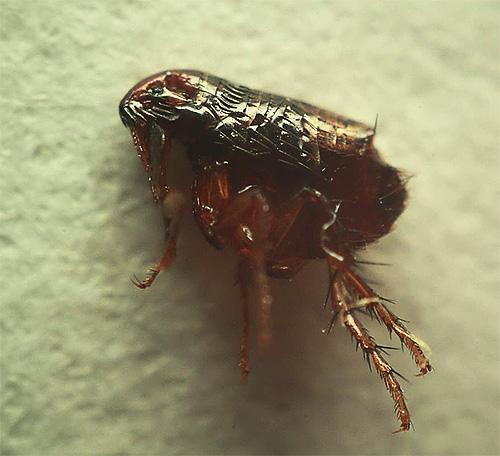 인간과 고양이, 개 벼룩은 작고 매우 불쾌한 곤충입니다.
