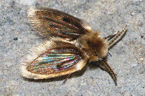 나비는 회색 털이 파리처럼 보입니다.