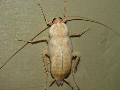 최근에 퇴색 한 바퀴벌레는 거의 흰색을 띄고 있습니다.