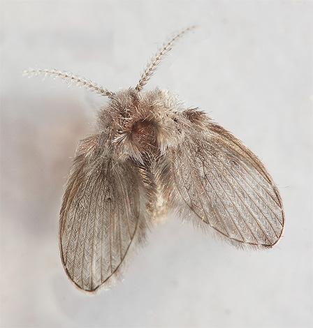 나비 - 작은 파리 회색 색상