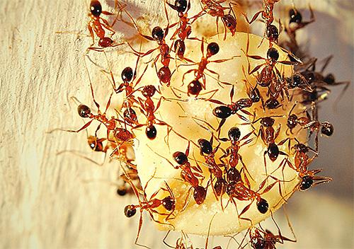 집에서 발견되는 작은 개미, 때로는 가져 오기가 매우 어렵습니다. 개미와 옥외를 배치 할 수 있습니다.