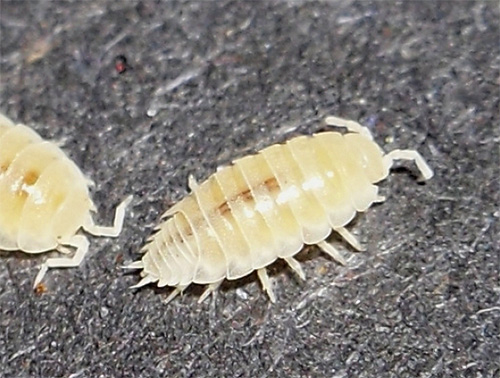 بالغ علانية مفهوم حشرات بيضاء صغيرة جدا في الفراش Findlocal Drivewayrepair Com