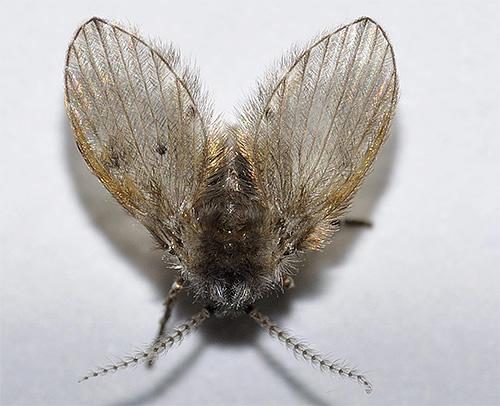 إذا ظهرت الحشرات الطائرة الصغيرة في الحمام أو المرحاض - يمكن أن تكون الفراشات