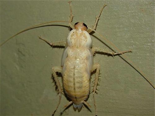 تبدو يرقات الصرصور الأحمر المعتاد وكأنها حشرات بيضاء غريبة للمرة الأولى.