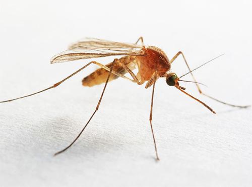 يمكن أيضا العثور على البعوض في الحمام أو المرحاض ، والذي يحتفظ باستمرار الرطوبة العالية.