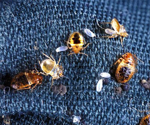 يجب إجراء تجميد البق مرتين على الأقل مع كسر لمدة أسبوعين تقريبًا لتدمير الحشرات تمامًا.