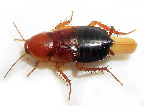 The photo shows a cockroach with a edema.