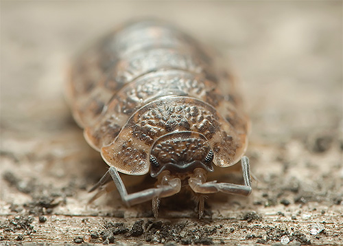 Most often in homes is a rough wood lice.