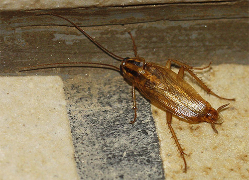 Although cockroaches in the house do not directly touch a person, they can be a source of various infections.