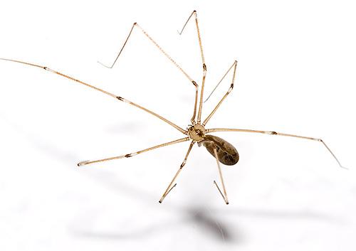 Grassland Spider (Pholcidae)