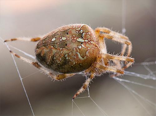 Kraanpin op het web (Araneus diadematus)