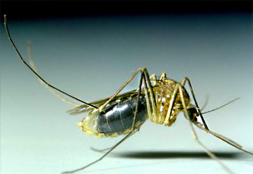 Mosquitoes in most cases do not live in the house for a long time, and appear here only to get drunk on human blood.