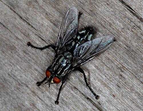 Grijze vlieg (Sarcophagidae)