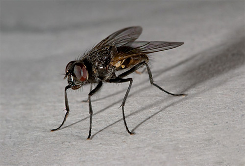 A housefly can only be found in a man's house.