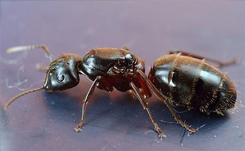 Bijlmier met rode borst (Camponotus herculeanus)
